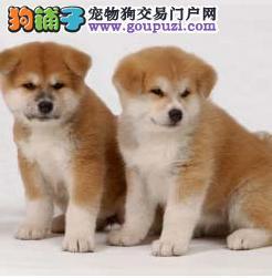 柴犬成年多大 南京哪里卖柴犬一只小柴犬多少钱