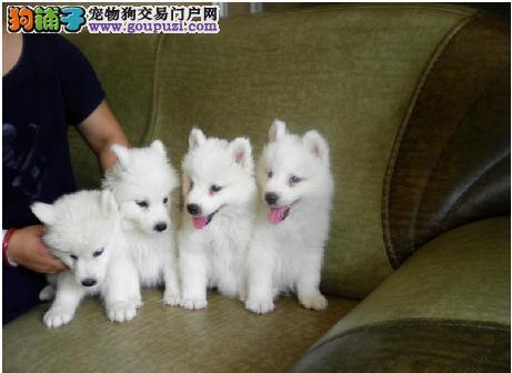 出售高端银狐犬、公母都有纯种健康、购犬可签协议