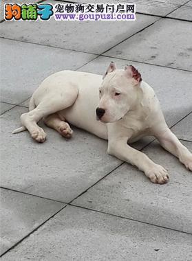 出售纯种健康的杜高犬幼犬签协议上门选