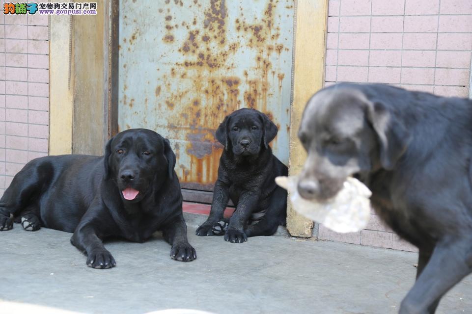 奥巴马直女,常年繁殖纯血统,极品拉布拉多幼犬。