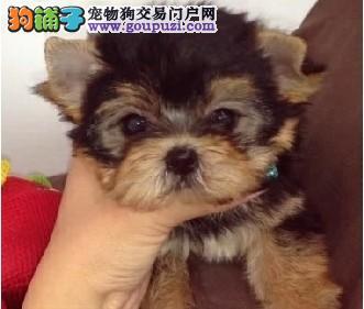 宠物名犬顶级约克夏犬出售 喜欢小体型狗狗欢迎上门看