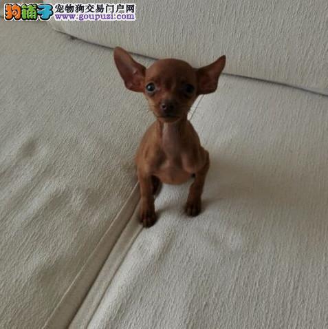 广州买小鹿犬到哪个狗场好 纯种小鹿多少钱