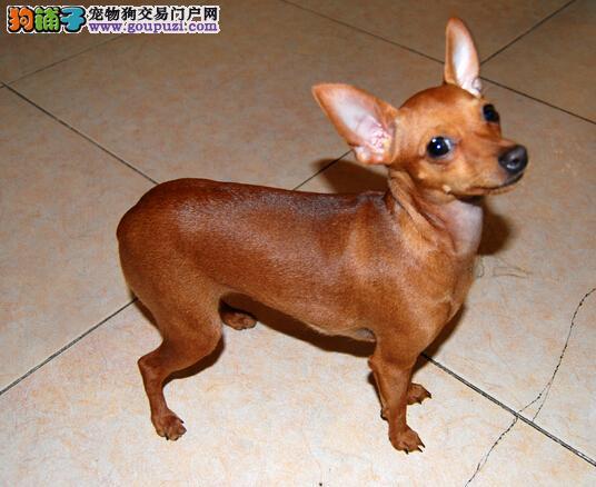 极品小鹿犬安庆养殖基地专业繁殖直销小鹿犬长不大健康