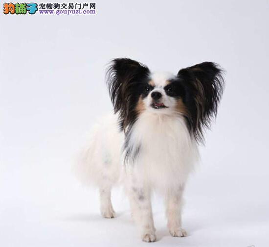 出售纯种蝴蝶犬幼犬 健康保证 诚信保证
