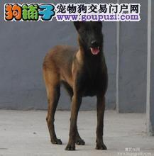 家养极品马犬出售 可见父母颜色齐全签订合法售后协议