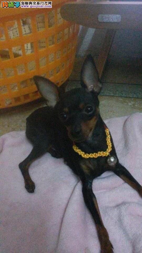 长沙出售小鹿犬幼犬品质好有保障包养活包退换
