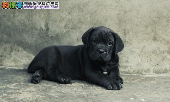 威猛小勇士忠诚护卫犬卡斯罗幼犬 签订协议
