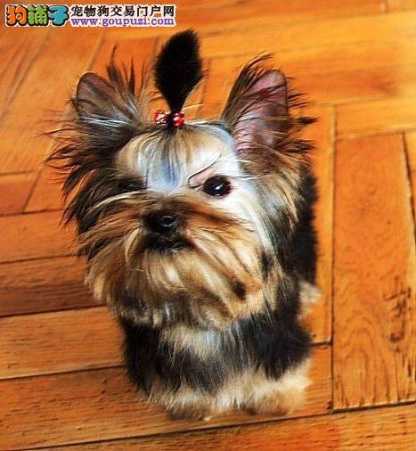 超萌可爱的约克夏宝宝,正规狗场出售全国可运