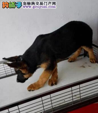德牧专售区 德国黑背纯种德牧 德国牧羊犬狼狗幼犬