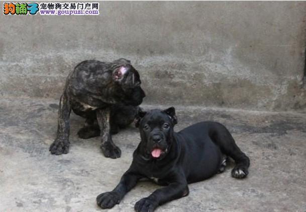 纯种卡斯罗多国登陆冠军血统卡斯罗犬专业繁殖