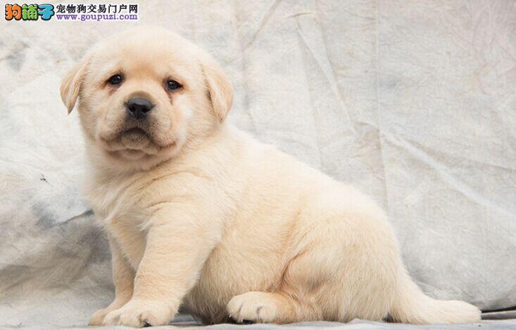 专业繁殖高品质赛级拉布拉多幼犬/纯种血系/协议质保