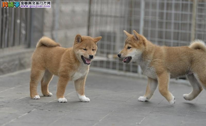 高品质纯血赤色日本柴犬证书齐全多窝可挑选八联疫苗齐