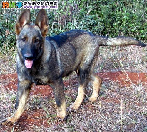 纯种赛级昆明犬,国际血统品质保障,签订活体协议