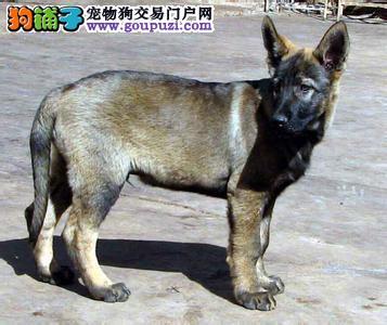专业正规犬舍热卖优秀龙岩昆明犬专业繁殖中心值得信赖