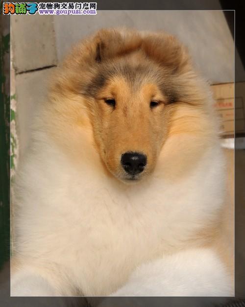 专业繁殖苏格兰牧羊犬强壮灵活血统纯欲购从速