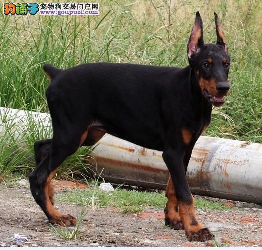 福州热卖杜宾犬多只挑选视频看狗品质优良诚信为本