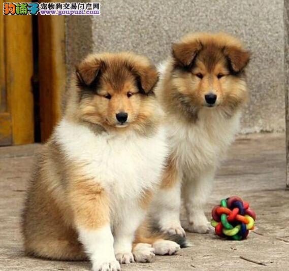 长沙哪里出售苏牧犬包纯种包健康