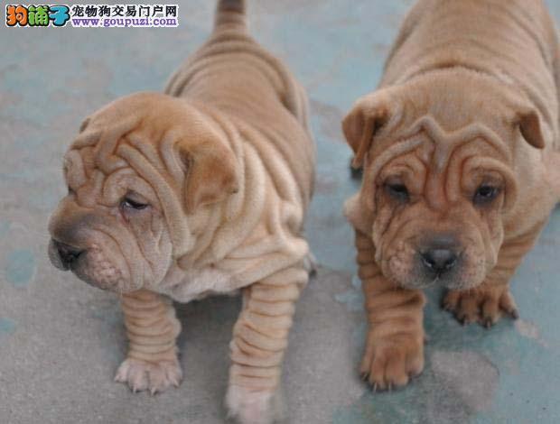 出售沙皮狗专业缔造完美品质包售后包退换