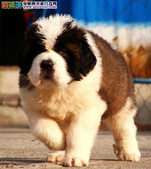高端大气 品质极佳圣伯纳幼犬出售 疫苗齐全 全国邮