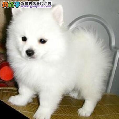 CKU犬舍认证出售高品质银狐犬欢迎爱狗人士上门选购