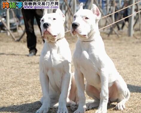 正宗极品马鞍山杜高犬绝对血统纯正质量三包多窝可选
