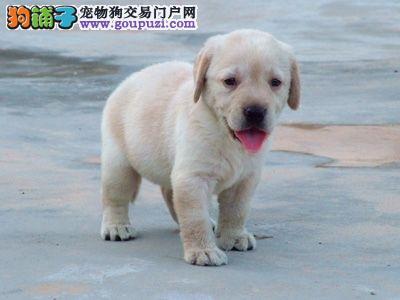 CKU犬舍认证黔南州出售纯种拉布拉多签订协议包细小犬瘟热