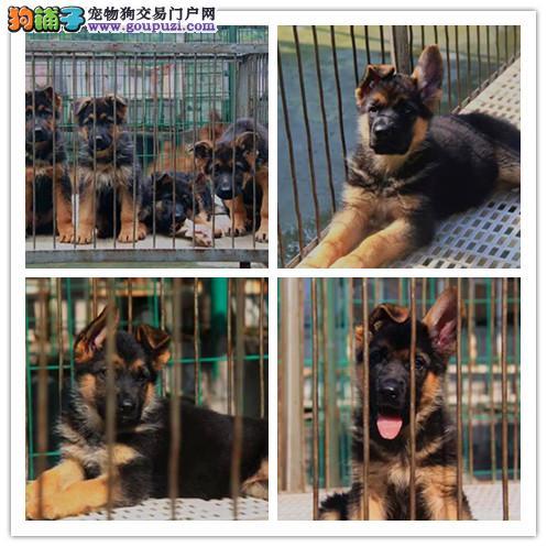 出售世界各类名犬、支持上门看狗、加微信咨询有折扣