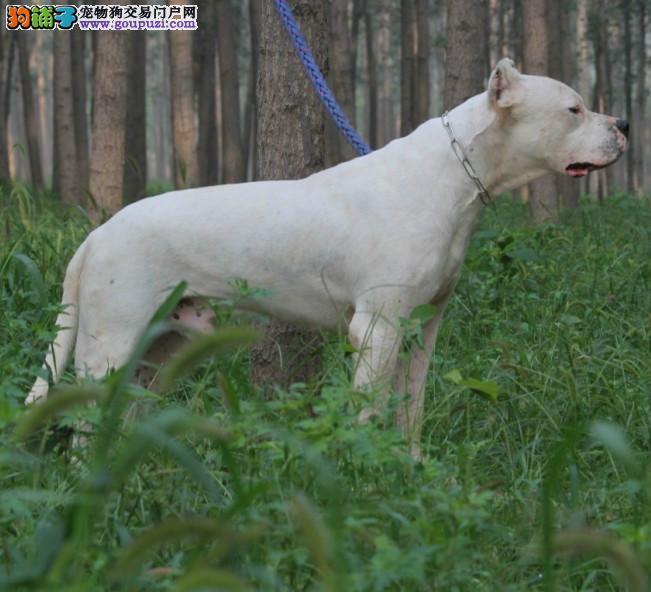 出售纯种健康的杜高犬幼犬欢迎实地挑选