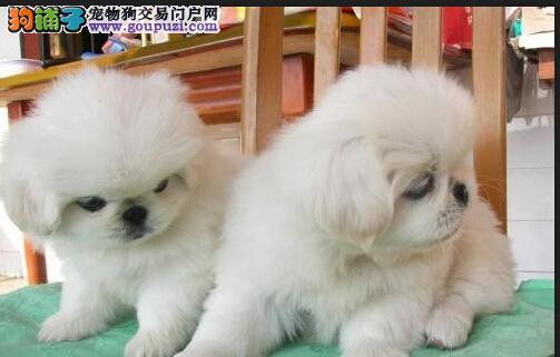 京巴犬哪里有深圳狗卖京巴图片京巴犬多少钱一只
