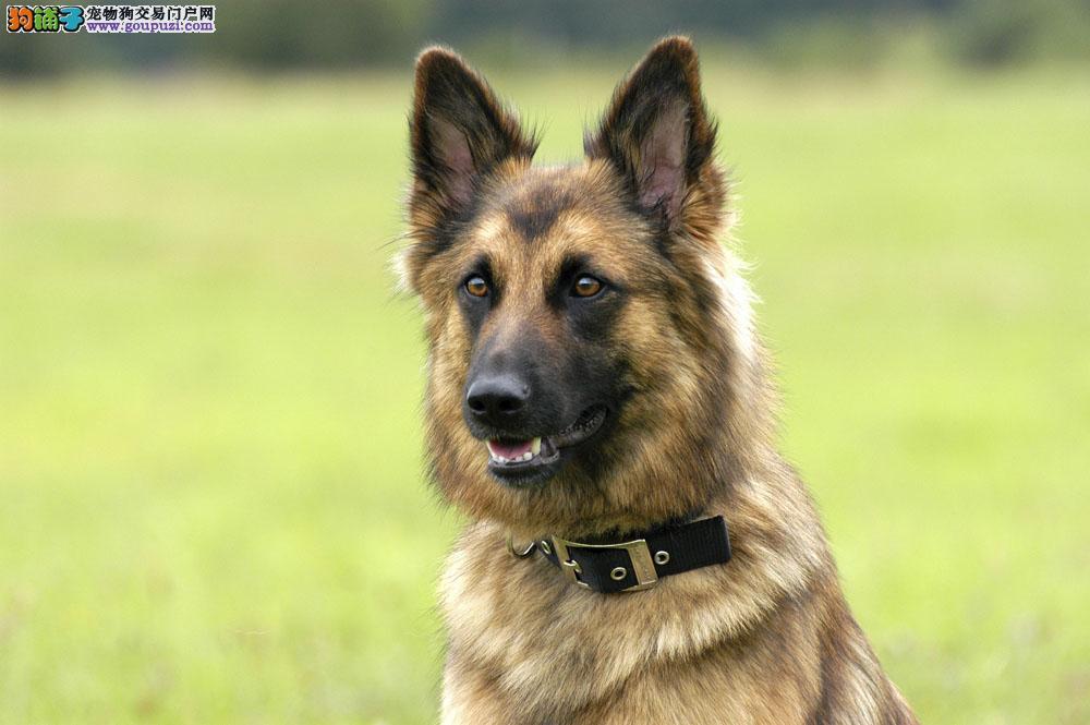 纯种狼狗正规犬舍出售 签订协议