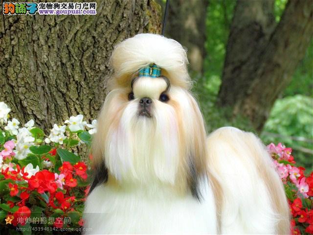 精品纯种天津西施犬出售质量三包实物拍摄直接视频