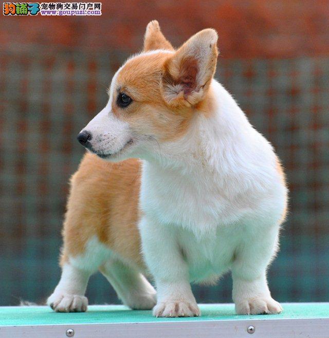 高端柯基幼犬 血统认证保健康 提供养护指导