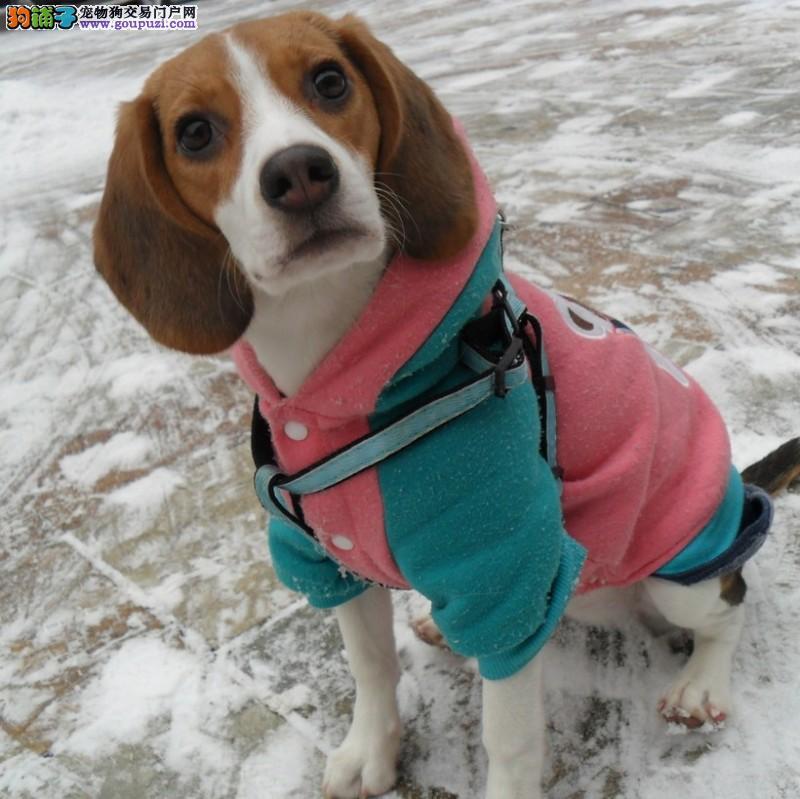 纯种米格鲁比格犬出售/健康保证15天