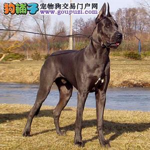 百分百健康纯种大丹犬吐鲁番热卖中微信咨询欢迎选购