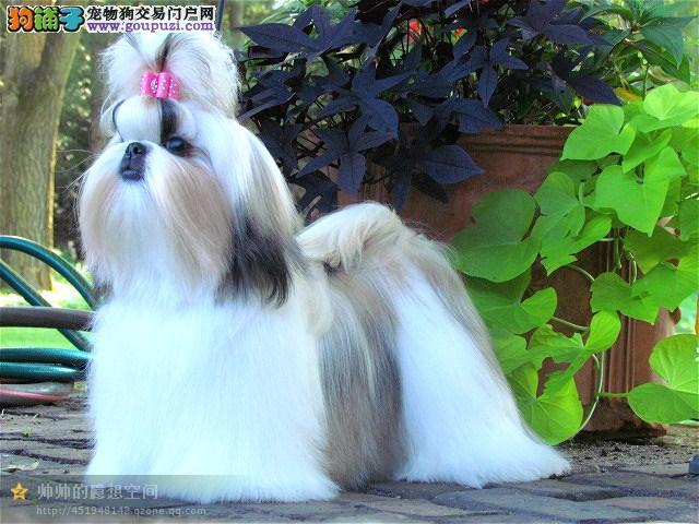 多种颜色的赛级西施犬幼犬寻找主人价格美丽品质优良