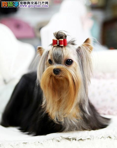 品质纯血统小体金头银背约克夏幼犬 签订质保协议