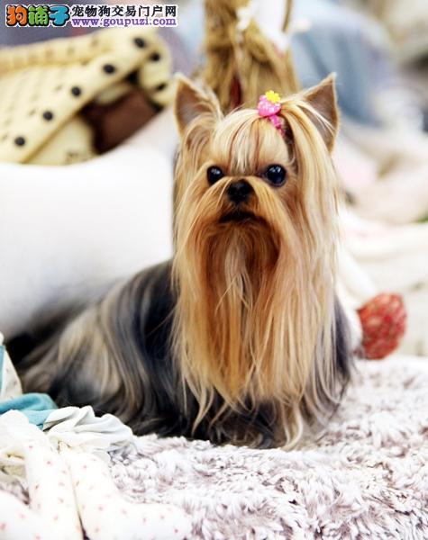 纯血统约克夏幼犬,纯度第一品质第一,全国空运到家