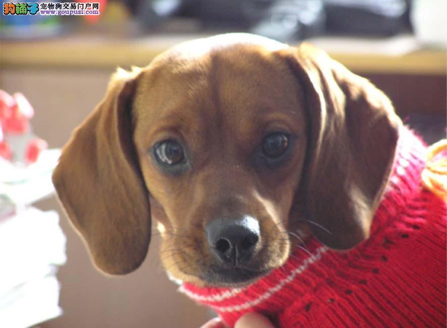 广州哪里有卖腊肠,腊肠犬多少钱一只