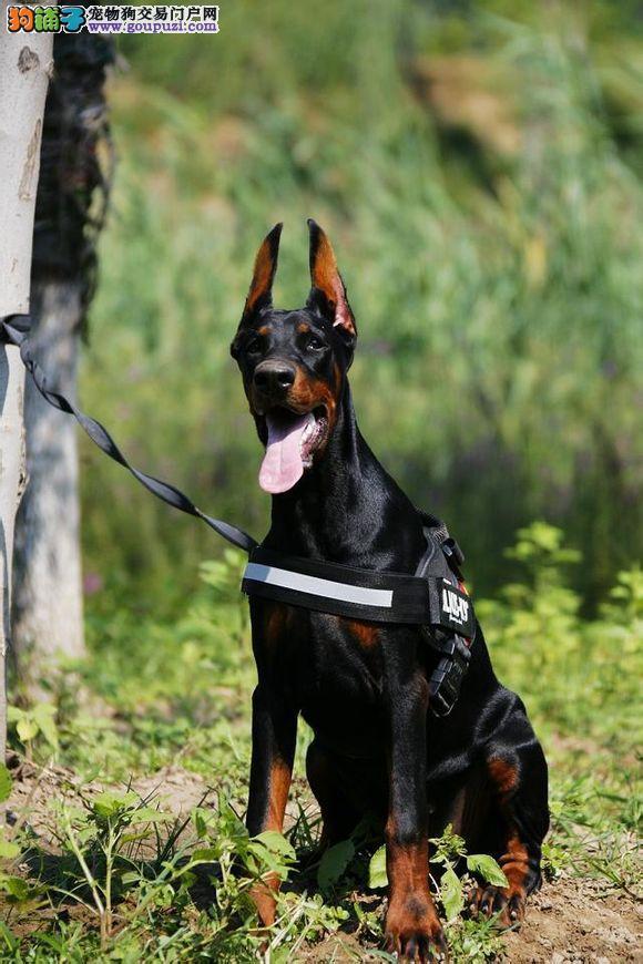 护卫犬身体结构紧凑,肌肉发达而有力 杜宾犬