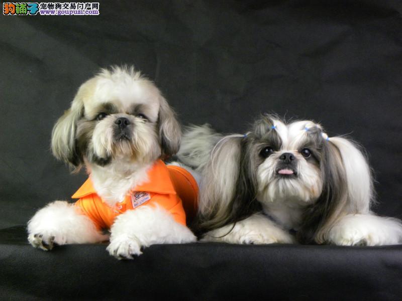西施犬性格明快、活泼,敏捷好动,自命清高。