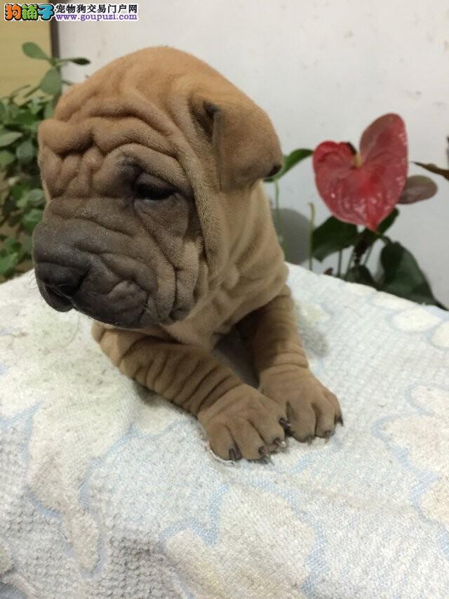 出售可爱的沙皮犬 漂亮可爱 健康保证 血统证书