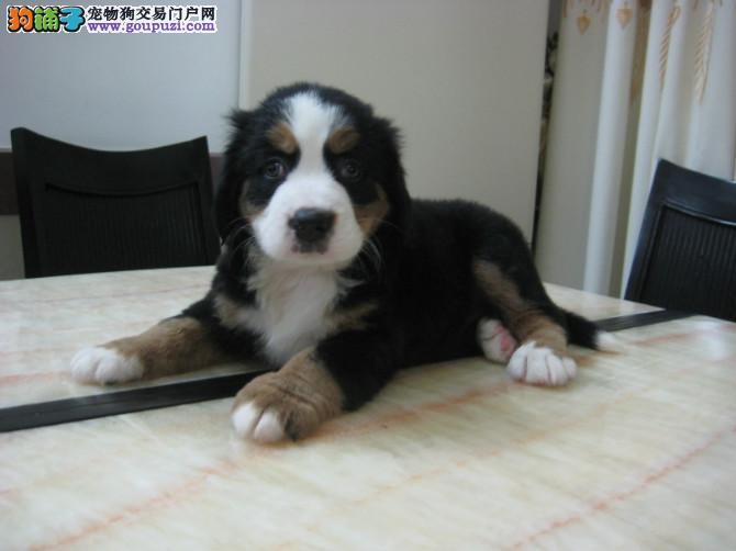 伯恩山犬是一只十分斯文、有礼、举止大方的爱犬。