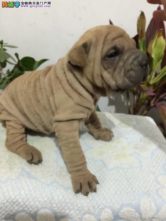 拉萨本地出售高品质沙皮狗宝宝签订合法售后协议