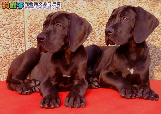 重庆出售颜色齐全身体健康大丹犬喜欢的别错过