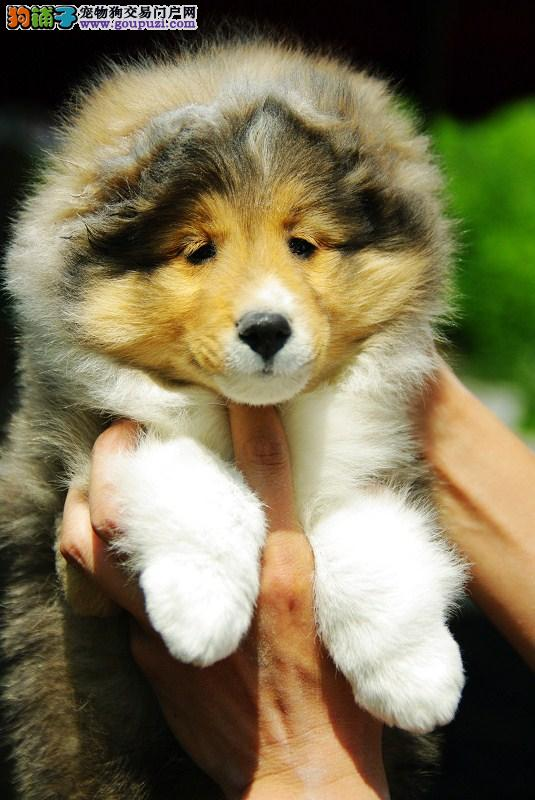 喜乐蒂是非常好的牧羊犬,耐寒体力好忠实聪明可靠。