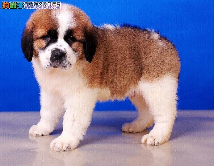 出售纯种的圣伯纳幼犬血统纯正