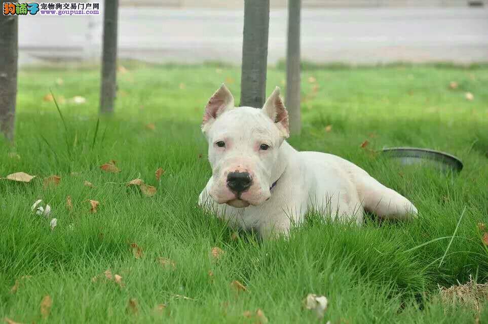 极品纯正的汉中杜高犬幼犬热销中期待您的来电咨询