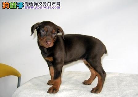 杜宾犬友善,个性热情、机警、自信而且不怕生。