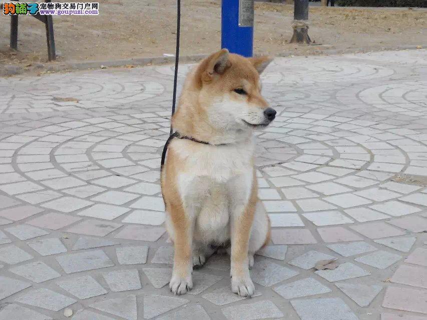纯种日本小柴犬专业柴犬繁殖赛级血统健康品质保障
