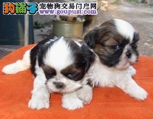 可爱西施出售,健康可爱,正规犬舍,签协议质保